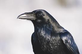 Comrade Crow