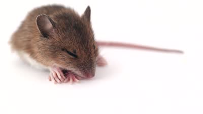 stock-footage-cute-little-mouse-sleeping-on-a-white-background
