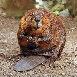 Or a beaver. Dude would make an awesome beaver.